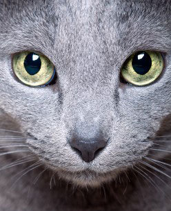 Announcements Russianblue