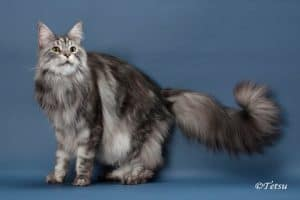 Longest Tail on a Domestic Cat