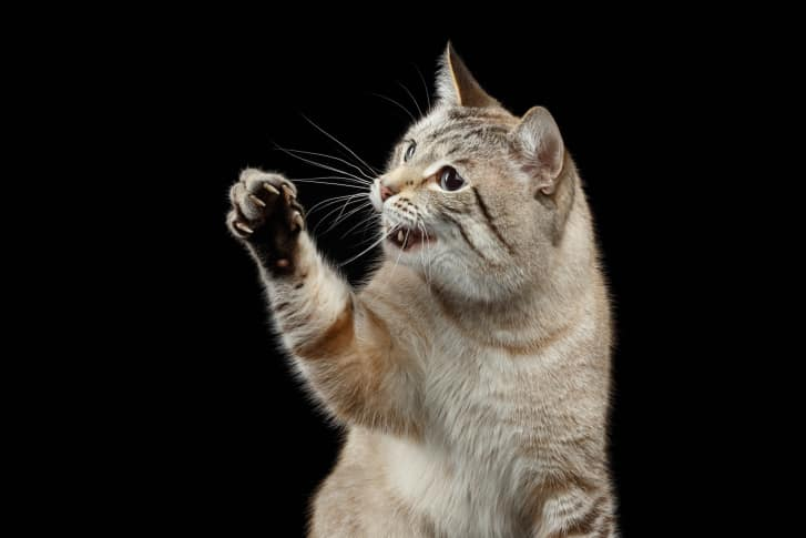 Portrait of Thai Cat Raising up Paw with opened mouth