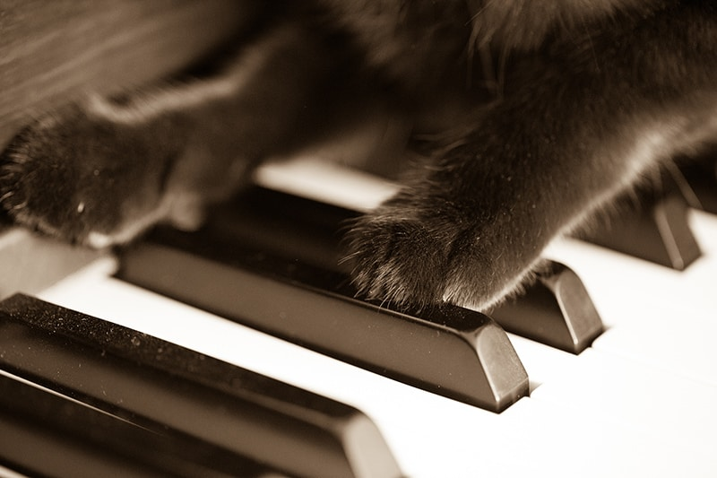 Cat paws on piano, black, animal, legs