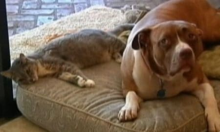 Pitbull saves cat