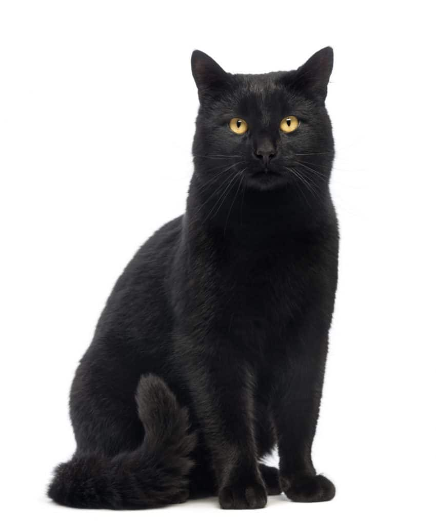 Black Cat sitting and looking at the camera, isolated
