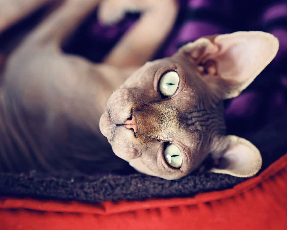 Real sphynx cats are not actually completely hairless. They may have a small amount of fur on their noses, ears, feet, and tails. Photo credit: Brooke Arnold Photography