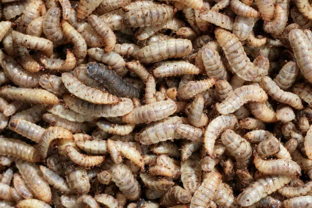 Bug Out Pet Food Might Use Flies And Worms As Protein Source